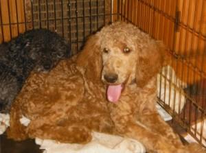 Mr. Golden Casher Poodle